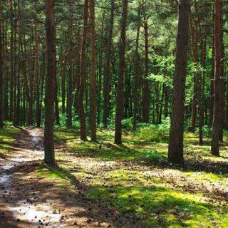 Bois de pins